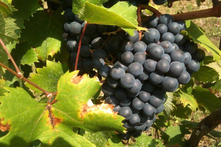 foto omgeving wijngaard piemonte